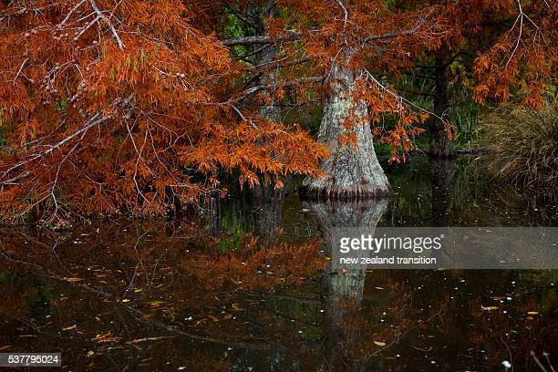 swamp cypress in autumn - bald cypress tree stock photos and pictures