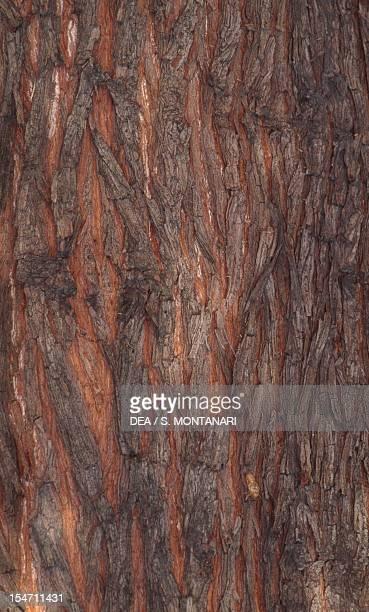 Swamp Cypress or Bald Cypress bark Cupressaceae Detail
