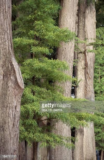 Swamp Cypress or Bald Cypress Cupressaceae Detail