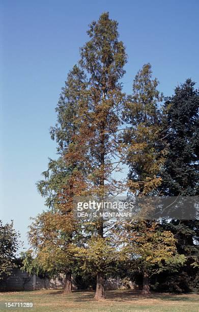 Swamp Cypress or Bald Cypress Cupressaceae