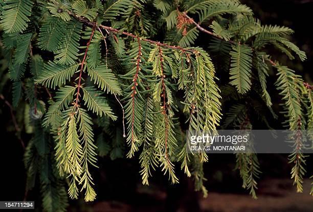 Swamp Cypress or Bald Cypress leaves Cupressaceae
