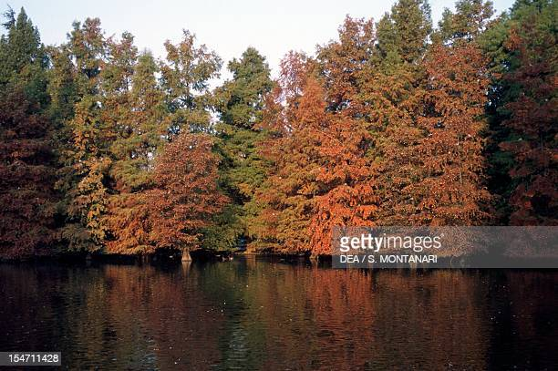 Swamp Cypress or Bald Cypress specimens Cupressaceae