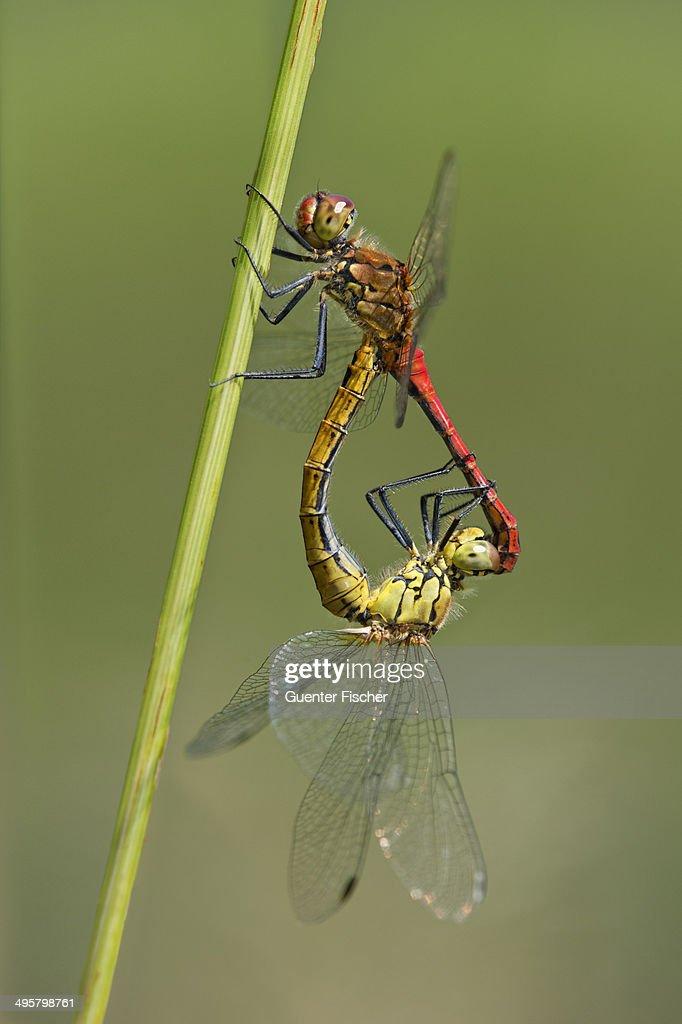 Swamp Darters Sympetrum Depressiusculum Mating Versoix
