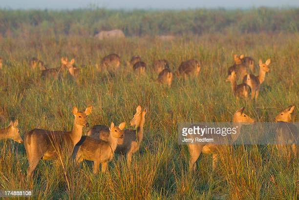 Swamp deer also known as Barasingha gather in the first light in the park The species is listed as vulnerable on the IUCN Red List of Vulnerable...