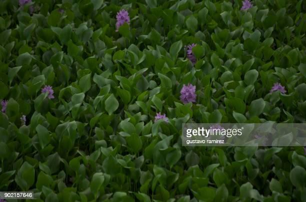 swamp everglade flowers in Peruvian jungle