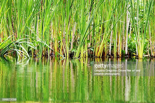swamp grass - gregoria gregoriou crowe fine art and creative photography stock photos and pictures