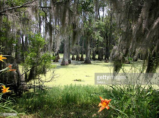 swamp near charleston - cypress swamp stock photos and pictures