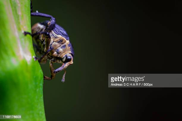 swamp snout beetle - andreas solar stock pictures, royalty-free photos & images