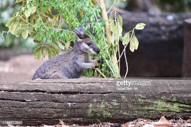 swamp wallaby - rafael ben ari stock pictures, royalty-free photos & images