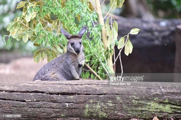 swamp wallaby - rafael ben ari 個照片及圖片檔