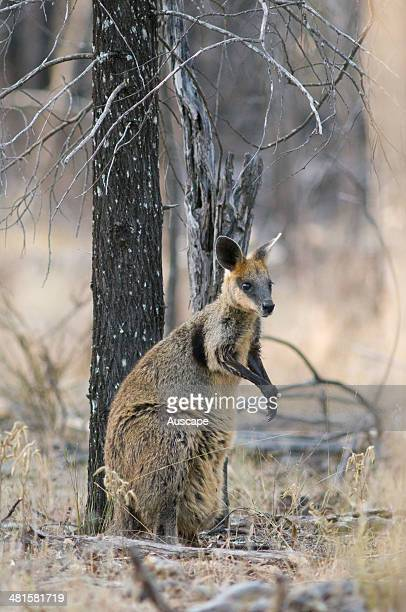 Swamp wallaby Wallabia bicolor female with pouched young cools off by licking forearms in mature Cypress pine woodland Western Darling Downs...