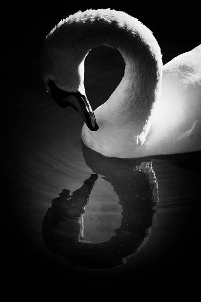 Swan admiring itself reflecting in lake