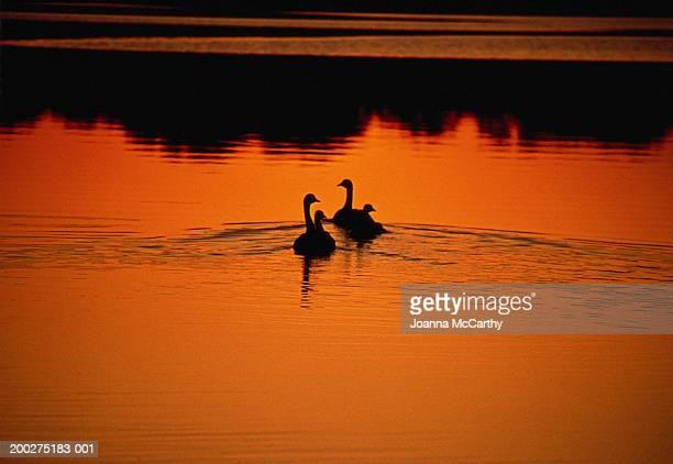 Swan (Cygnus sp.) adults and cygnets swimming on lake, sunrise