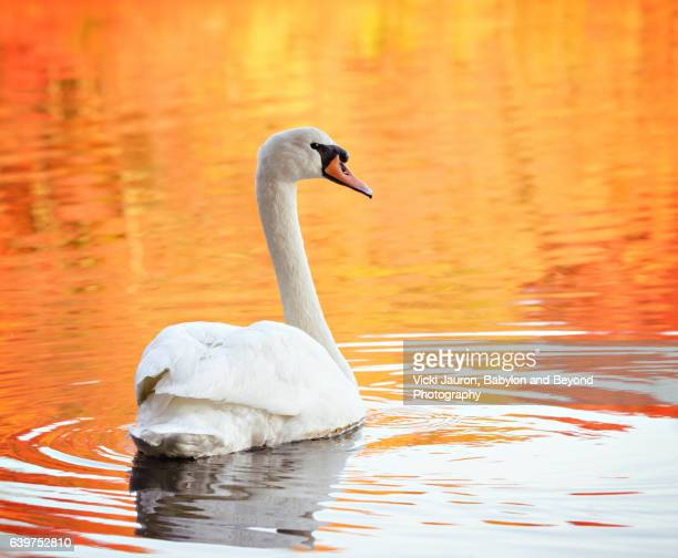 Swan Against Fall Colors in Water at Babylon, Long Island