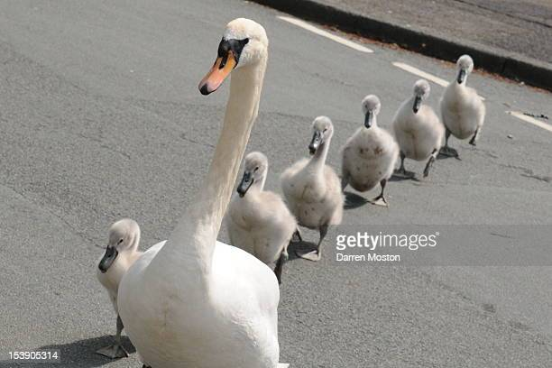 Swan and Cygnets crossing road