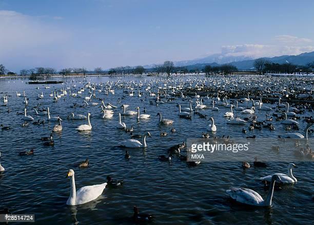 Swan and Duck at Lake Hyoko, Agano, Niigata, Japan