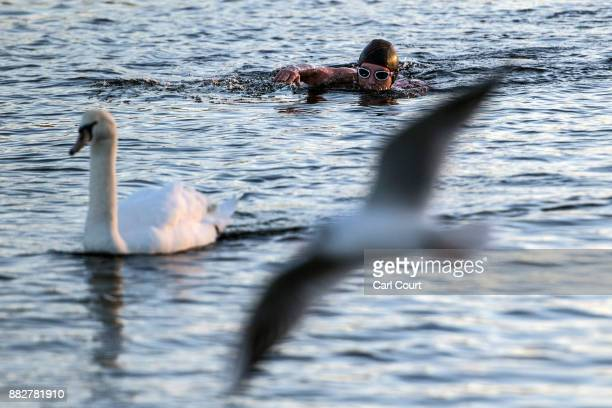 A swan and gull pass by as a member of the Serpentine Swimming Club enjoys an early morning swim in Serpentine Lake in Hyde Park on November 30 2017...