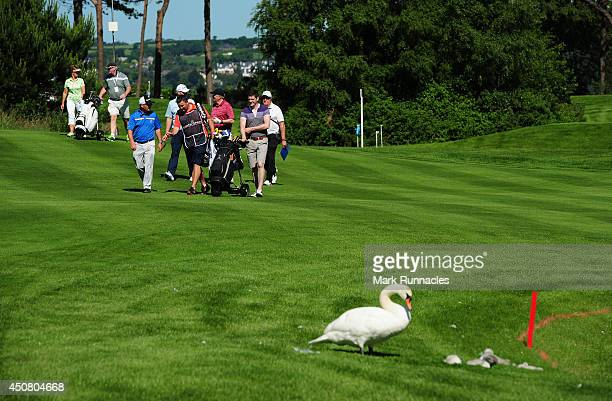 A swan and her cygnet's walk onto the 14th fairway during the ProAm day at the Irish Open at Fota Island resort on June 18 2014 in Cork Ireland
