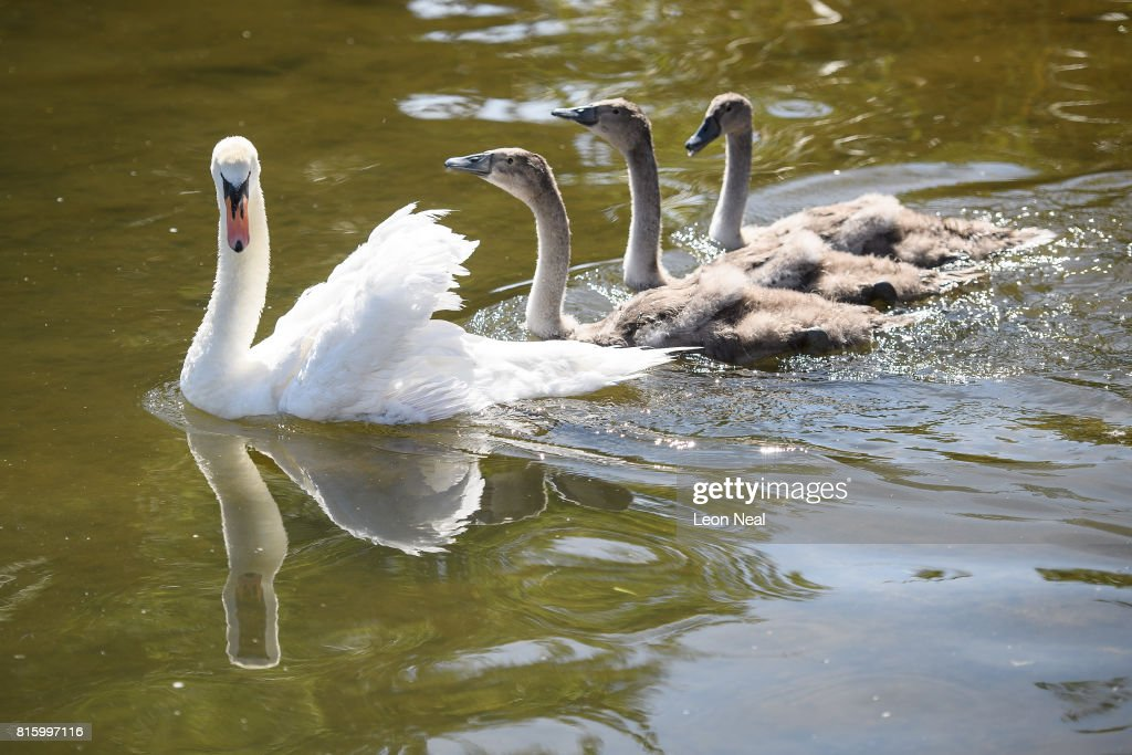 A swan and it's cygnets are seen on the river during the annual Swan Upping census on July 17, 2017 on the River Thames, South West London. The historic Swan Upping ceremony dates back to the 12th century, to when the Crown claimed ownership of all Mute Swans and they were eaten at banquets and feasts. The Sovereign's Swan Marker, David Barber, counts the number of young cygnets on the river each year and ensures that the swan population is maintained. The swans and young cygnets are also assessed for any signs of injury or disease.