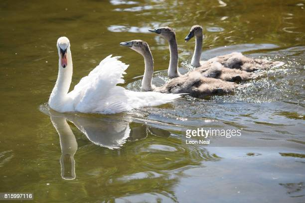 A swan and it's cygnets are seen on the river during the annual Swan Upping census on July 17 2017 on the River Thames South West London The historic...