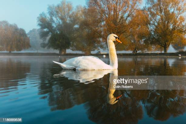 a swan and it's reflection on lake in autumn - animals in the wild stock pictures, royalty-free photos & images