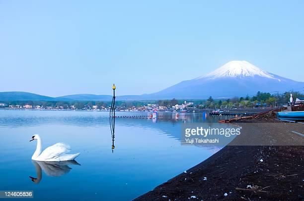 Swan and mount Fuji of lake Yamanaka