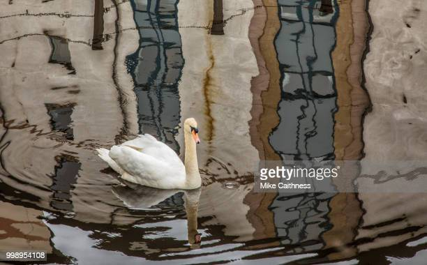 swan and reflections - mike caithness stock pictures, royalty-free photos & images