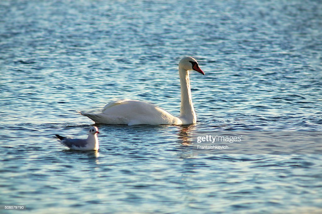 Swan and seagull together : Stock Photo