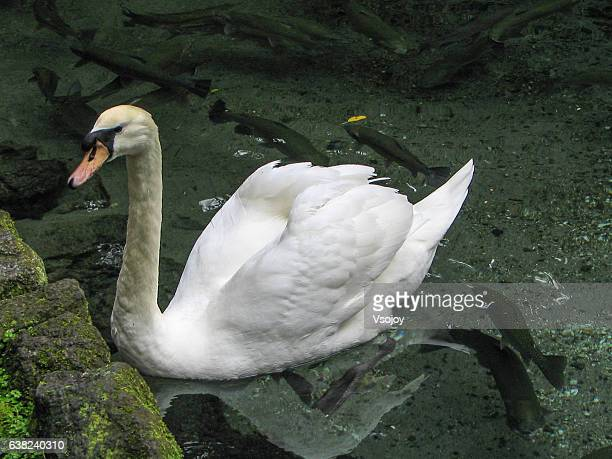 swan and the fishes - vsojoy stock pictures, royalty-free photos & images
