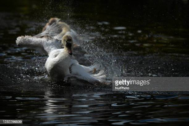 Swan at a pond in St. Stephen's Green, Dublin, during the COVID-19 lockdown. On Tuesday, 13 April 2021, in Dublin, Ireland.