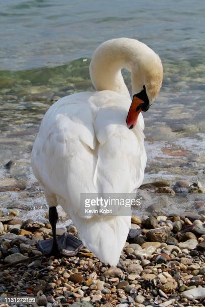 swan at lake garda in sirmione, lombardy, italy. - eleganz stock pictures, royalty-free photos & images