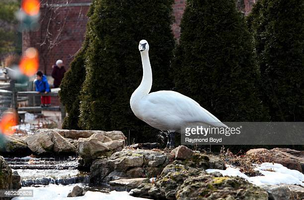 Swan at Lincoln Park Zoo in Chicago on January 19 2015 in Chicago Illinois