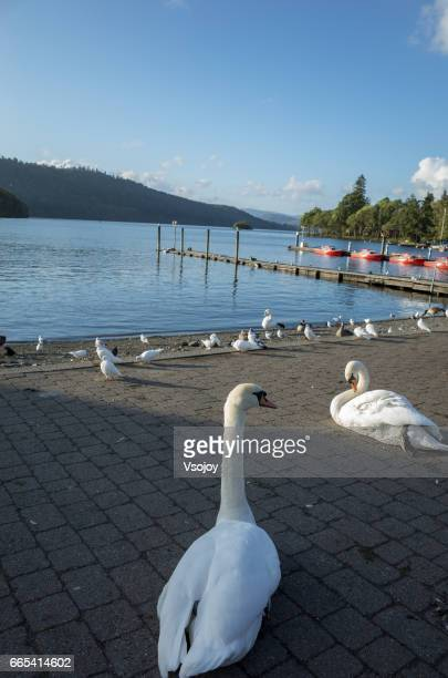 Swan at the pier, Windermere, Lake District, England