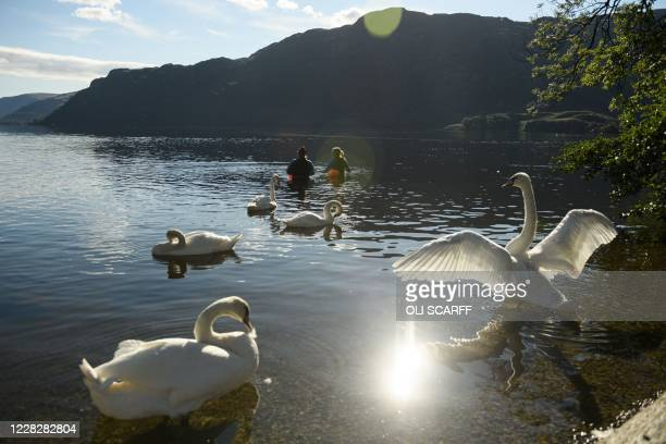 Swan beats its wings as two swimmers enter Ullswater lake in the sunshine near Glenridding in the Lake District in north west England on Bank Holiday...