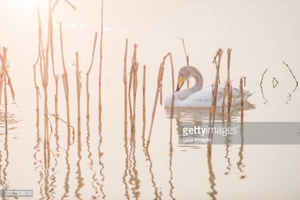 Swan between reed swimming in calm lake at sunrise, Sanmenxia, Hennan, China