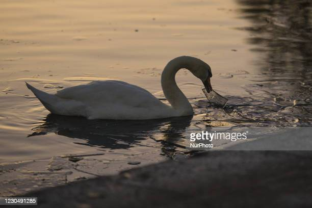 Swan carrying a piece of ice on Dublin's Grand Canal during sunset. The Department of Health reported today a new daily record of new cases for the...