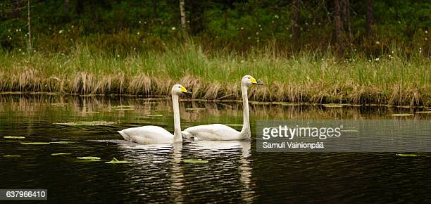 Swan couple pairing Up