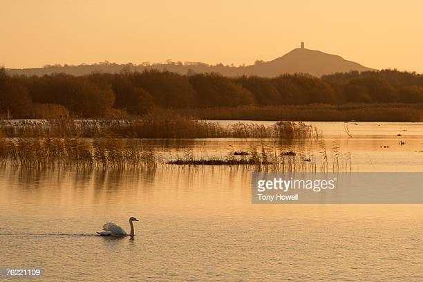 Swan, Dawn, Glastonbury Tor, Shapwick Heath, Somerset, England, UK