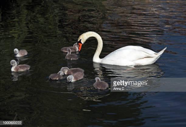 swan family II