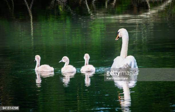swan family - animal family stock pictures, royalty-free photos & images