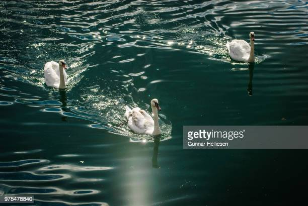 swan fjord - gunnar helliesen stock pictures, royalty-free photos & images