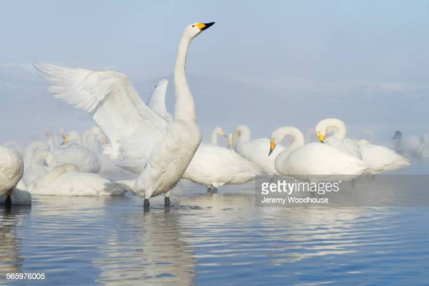 Swan flapping its wings in remote lake