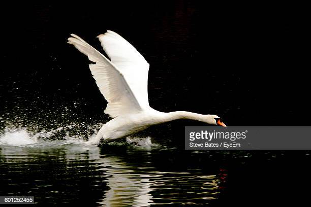 swan flapping wings on lake - spread wings stock pictures, royalty-free photos & images