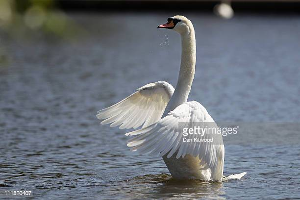 A swan flaps it's wings in the River Thames on April 7 2011 in Windsor England Much of Britain continues to enjoy unseasonably warm weather recording...