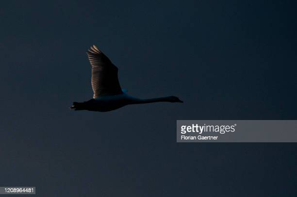 A swan flies during blue hour on March 31 2020 in Diehsa Germany