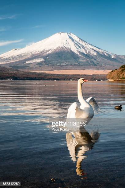 A Swan Flipping Its Wings in Front of Mt. Fuji