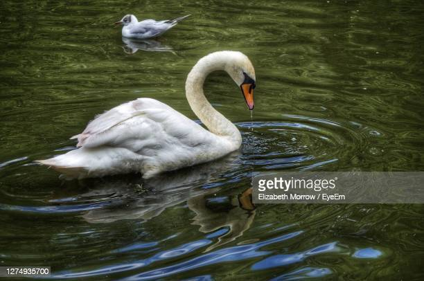 swan floating on lake - truro cornwall stock pictures, royalty-free photos & images