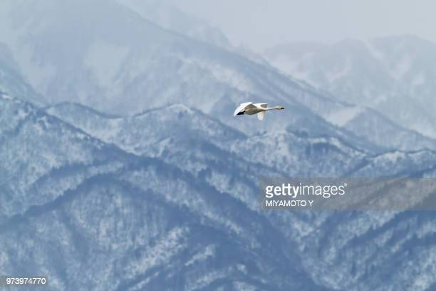 swan (cygnusolor) flying above mountains - miyamoto y ストックフォトと画像