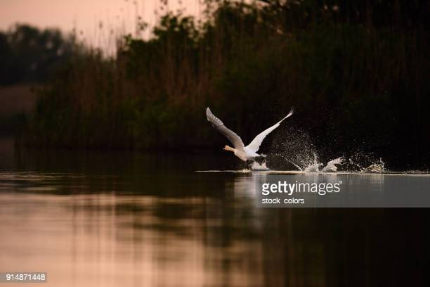 swan flying in the sunrise - swan stock pictures, royalty-free photos & images