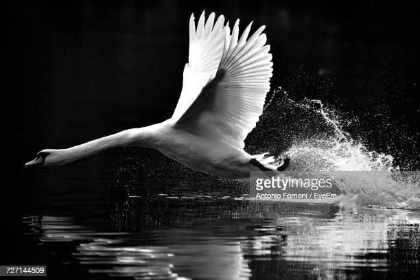 Swan Flying Over Water